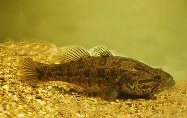 Ротан-рыба-Описание-особенности-виды-образ-жизни-и-среда-обитания-ротана-2