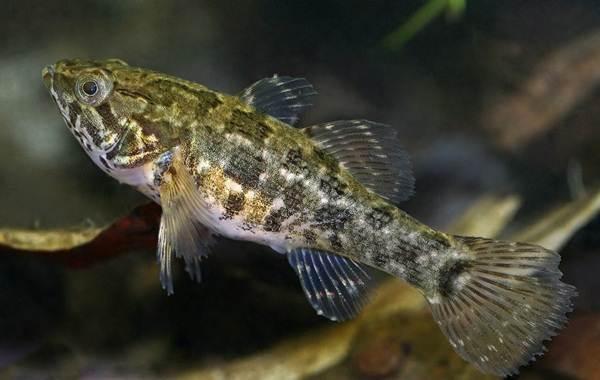 Ротан-рыба-Описание-особенности-виды-образ-жизни-и-среда-обитания-ротана-8