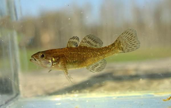 Ротан-рыба-Описание-особенности-виды-образ-жизни-и-среда-обитания-ротана-9