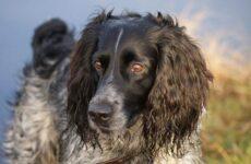 Русский охотничий спаниель собака. Описание, особенности, виды, уход и цена породы