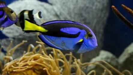 Рыба хирург. Описание, особенности, виды, образ жизни и среда обитания рыбы хирург