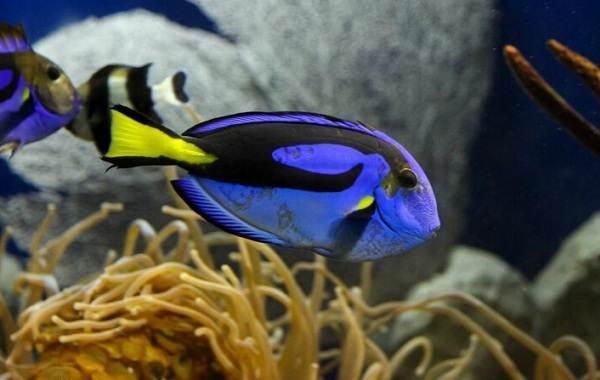 Рыба-хирург-Описание-особенности-виды-образ-жизни-и-среда-обитания-рыбы-хирург-1
