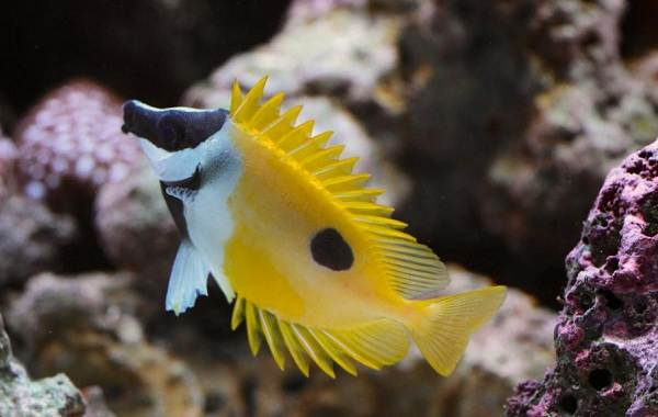 Рыба-хирург-Описание-особенности-виды-образ-жизни-и-среда-обитания-рыбы-хирург-10