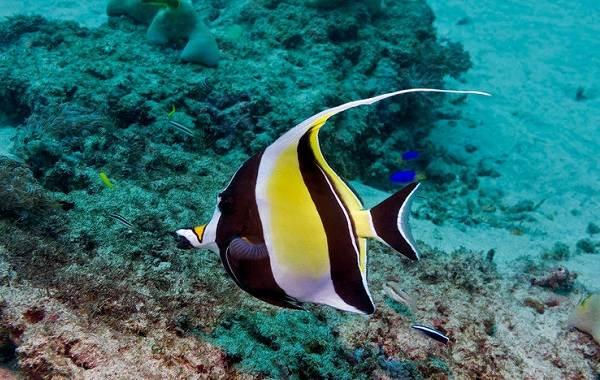 Рыба-хирург-Описание-особенности-виды-образ-жизни-и-среда-обитания-рыбы-хирург-11