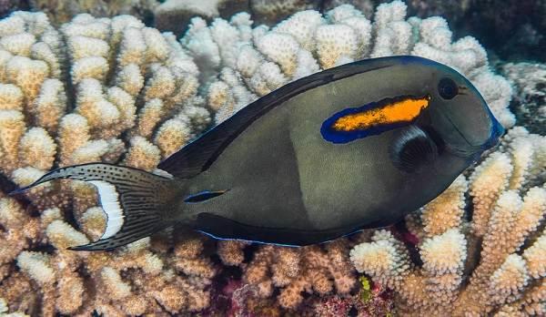 Рыба-хирург-Описание-особенности-виды-образ-жизни-и-среда-обитания-рыбы-хирург-12