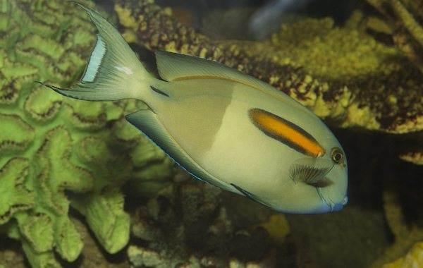 Рыба-хирург-Описание-особенности-виды-образ-жизни-и-среда-обитания-рыбы-хирург-13
