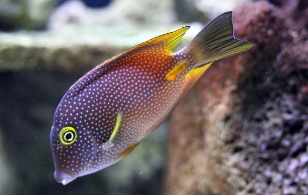 Рыба-хирург-Описание-особенности-виды-образ-жизни-и-среда-обитания-рыбы-хирург-14