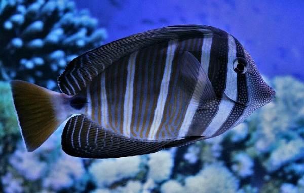 Рыба-хирург-Описание-особенности-виды-образ-жизни-и-среда-обитания-рыбы-хирург-15