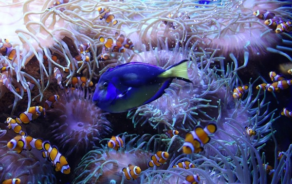 Рыба-хирург-Описание-особенности-виды-образ-жизни-и-среда-обитания-рыбы-хирург-16
