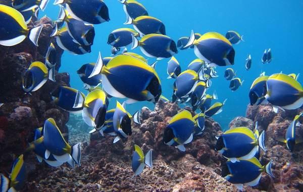 Рыба-хирург-Описание-особенности-виды-образ-жизни-и-среда-обитания-рыбы-хирург-2