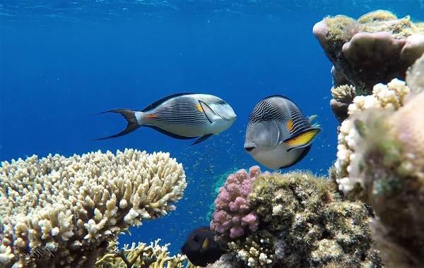 Рыба-хирург-Описание-особенности-виды-образ-жизни-и-среда-обитания-рыбы-хирург-3