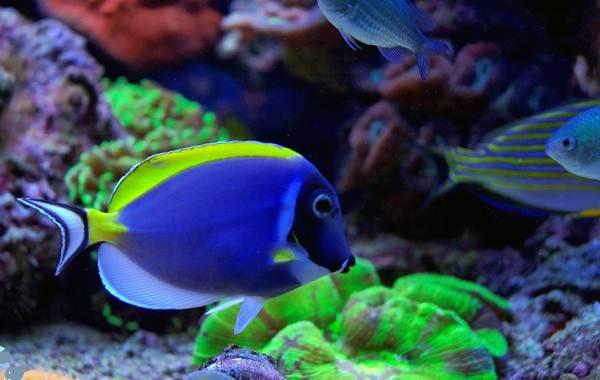 Рыба-хирург-Описание-особенности-виды-образ-жизни-и-среда-обитания-рыбы-хирург-4