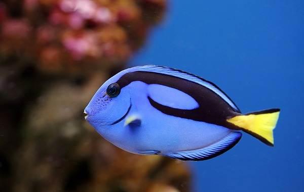 Рыба-хирург-Описание-особенности-виды-образ-жизни-и-среда-обитания-рыбы-хирург-6