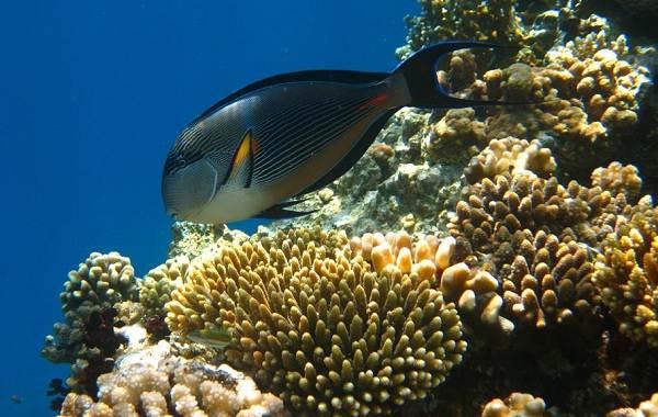 Рыба-хирург-Описание-особенности-виды-образ-жизни-и-среда-обитания-рыбы-хирург-7