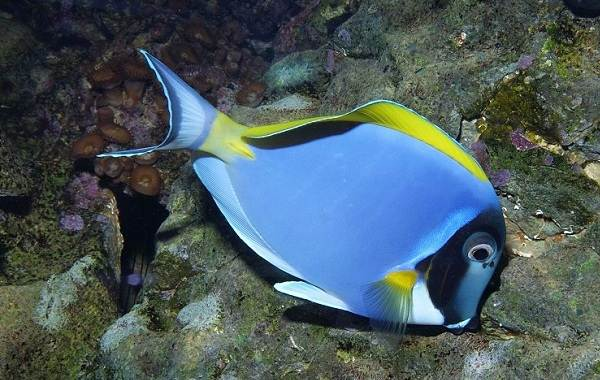 Рыба-хирург-Описание-особенности-виды-образ-жизни-и-среда-обитания-рыбы-хирург-8