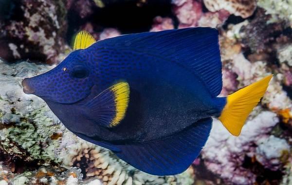Рыба-хирург-Описание-особенности-виды-образ-жизни-и-среда-обитания-рыбы-хирург-9