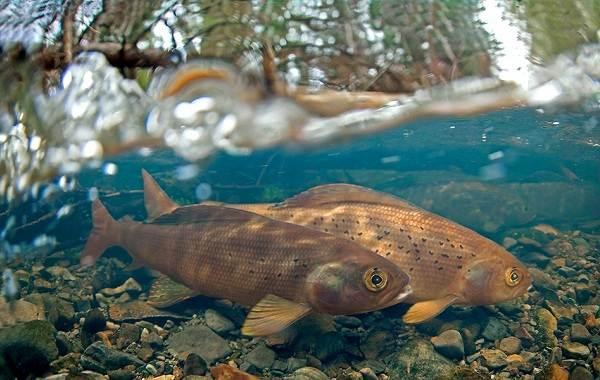 Рыбы-Байкала-Описание-особенности-названия-и-фото-видов-рыбы-в-Байкале-1
