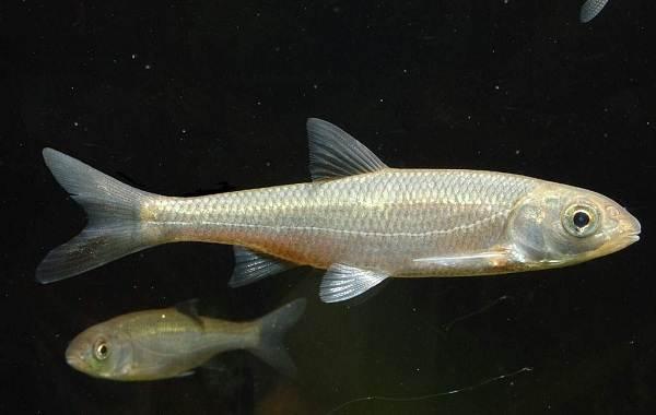 Рыбы-Байкала-Описание-особенности-названия-и-фото-видов-рыбы-в-Байкале-11