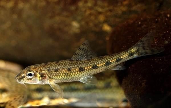 Рыбы-Байкала-Описание-особенности-названия-и-фото-видов-рыбы-в-Байкале-14