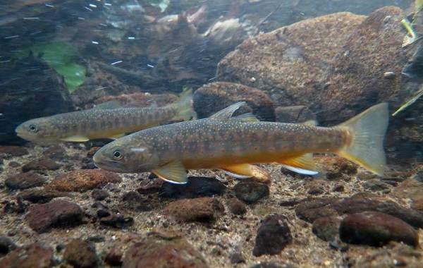Рыбы-Байкала-Описание-особенности-названия-и-фото-видов-рыбы-в-Байкале-16