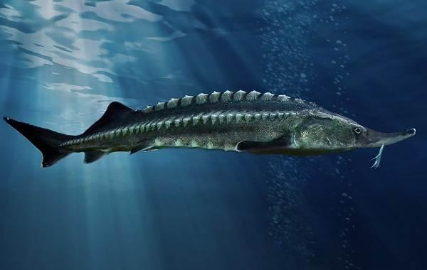 Рыбы-Байкала-Описание-особенности-названия-и-фото-видов-рыбы-в-Байкале-2
