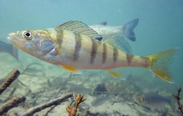 Рыбы-Байкала-Описание-особенности-названия-и-фото-видов-рыбы-в-Байкале-20