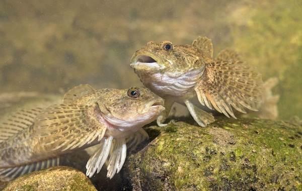 Рыбы-Байкала-Описание-особенности-названия-и-фото-видов-рыбы-в-Байкале-21