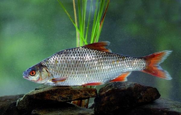 Рыбы-Байкала-Описание-особенности-названия-и-фото-видов-рыбы-в-Байкале-23