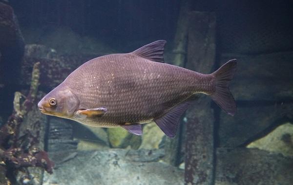 Рыбы-Байкала-Описание-особенности-названия-и-фото-видов-рыбы-в-Байкале-24