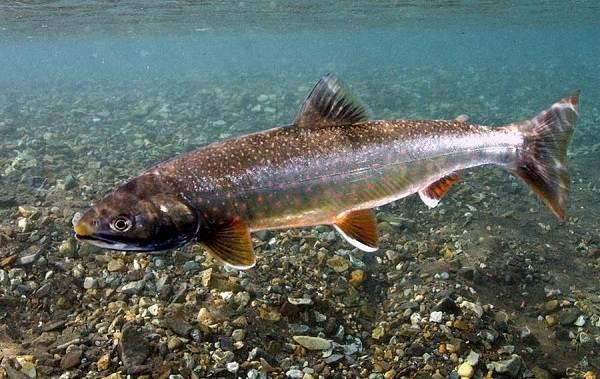 Рыбы-Байкала-Описание-особенности-названия-и-фото-видов-рыбы-в-Байкале-3