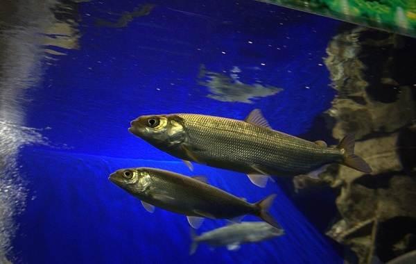 Рыбы-Байкала-Описание-особенности-названия-и-фото-видов-рыбы-в-Байкале-5