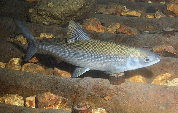 Рыбы-Байкала-Описание-особенности-названия-и-фото-видов-рыбы-в-Байкале-6