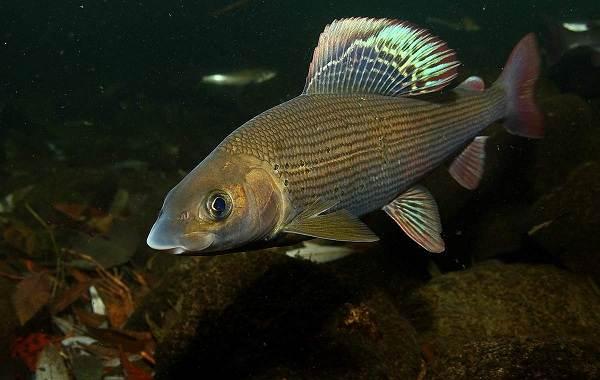 Рыбы-Байкала-Описание-особенности-названия-и-фото-видов-рыбы-в-Байкале-7