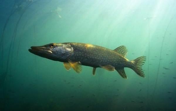 Рыбы-Байкала-Описание-особенности-названия-и-фото-видов-рыбы-в-Байкале-8