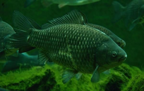 Рыбы-Байкала-Описание-особенности-названия-и-фото-видов-рыбы-в-Байкале-9