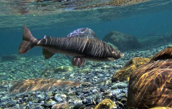 Рыбы-Байкала-Описание-особенности-названия-и-фото-видов-рыбы-в-Байкале
