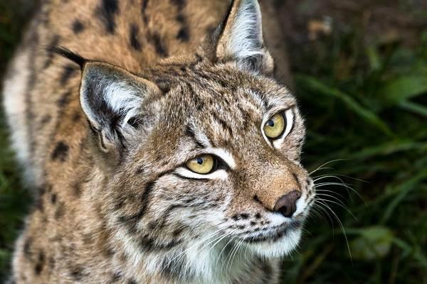 Рысь-животное-Описание-особенности-виды-образ-жизни-и-среда-обитания-рыси-1