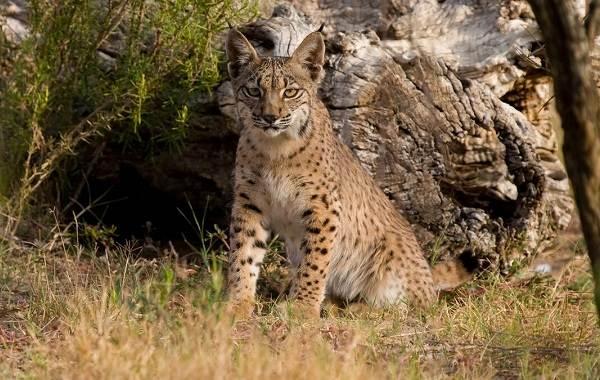 Рысь-животное-Описание-особенности-виды-образ-жизни-и-среда-обитания-рыси-10