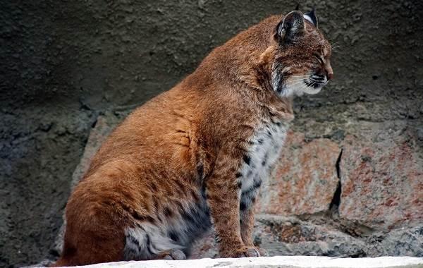 Рысь-животное-Описание-особенности-виды-образ-жизни-и-среда-обитания-рыси-11
