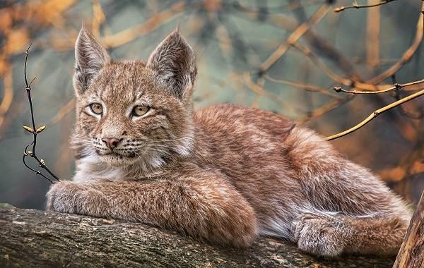 Рысь-животное-Описание-особенности-виды-образ-жизни-и-среда-обитания-рыси-12