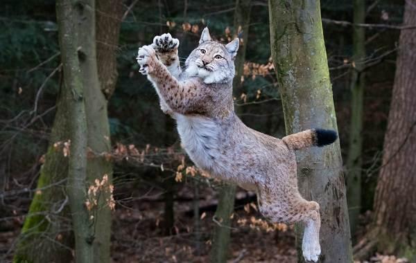 Рысь-животное-Описание-особенности-виды-образ-жизни-и-среда-обитания-рыси-13