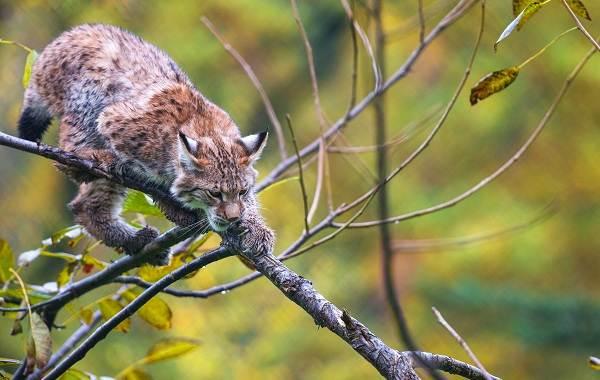 Рысь-животное-Описание-особенности-виды-образ-жизни-и-среда-обитания-рыси-14