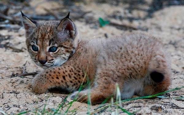 Рысь-животное-Описание-особенности-виды-образ-жизни-и-среда-обитания-рыси-16