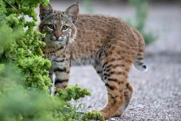 Рысь-животное-Описание-особенности-виды-образ-жизни-и-среда-обитания-рыси-17