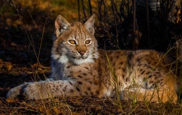 Рысь-животное-Описание-особенности-виды-образ-жизни-и-среда-обитания-рыси-3
