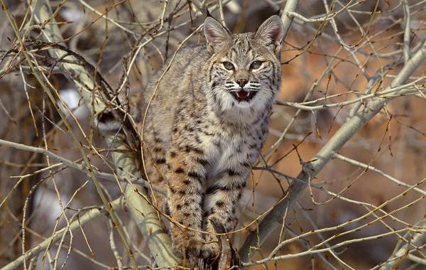 Рысь-животное-Описание-особенности-виды-образ-жизни-и-среда-обитания-рыси-4