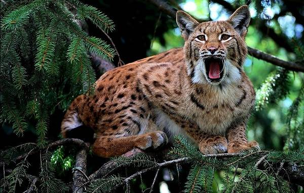 Рысь-животное-Описание-особенности-виды-образ-жизни-и-среда-обитания-рыси-5