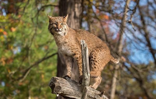 Рысь-животное-Описание-особенности-виды-образ-жизни-и-среда-обитания-рыси-6