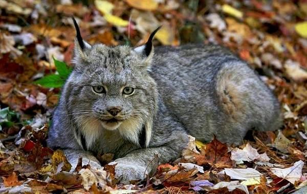 Рысь-животное-Описание-особенности-виды-образ-жизни-и-среда-обитания-рыси-8