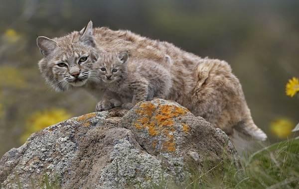 Рысь-животное-Описание-особенности-виды-образ-жизни-и-среда-обитания-рыси-9